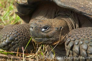 Galapagos tortoise, Santa Cruz Island species, highlands of Santa Cruz island. Galapagos Islands, Ecuador, Geochelone nigra, natural history stock photograph, photo id 16483