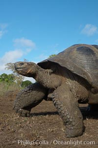 Galapagos tortoise, Santa Cruz Island species, highlands of Santa Cruz island. Santa Cruz Island, Galapagos Islands, Ecuador, Geochelone nigra, natural history stock photograph, photo id 16492