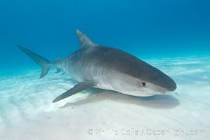 Tiger shark. Bahamas, Galeocerdo cuvier, natural history stock photograph, photo id 10671