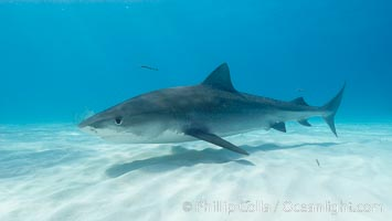 Image 10673, Tiger shark. Bahamas, Galeocerdo cuvier, Phillip Colla, all rights reserved worldwide. Keywords: animal, animalia, atlantic, bahamas, carcharhinidae, carcharhiniformes, chondrichthyes, chordata, cuvier, danger, dangerous, elasmobranch, elasmobranchii, fear, galeocerdo, galeocerdo cuvier, jaws, man eater, ocean, oceans, outdoors, outside, predator, requin tigre, risk, sea, shark, submarine, tiburon tigre, tiger shark, tigerhai, underwater, vertebrata, wildlife.