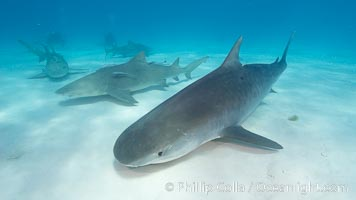 Tiger shark. Bahamas, Galeocerdo cuvier, natural history stock photograph, photo id 10683