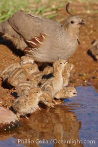 Gambel's quail, chicks and female. Amado, Arizona, USA, Callipepla gambelii, natural history stock photograph, photo id 22948
