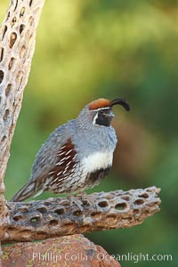 Gambel's quail, male. Amado, Arizona, USA, Callipepla gambelii, natural history stock photograph, photo id 22965