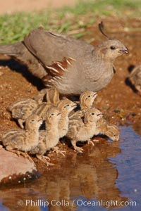 Gambel's quail, chicks and female. Amado, Arizona, USA, Callipepla gambelii, natural history stock photograph, photo id 22970