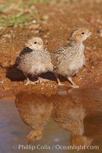 Gambel's quail, chicks, Callipepla gambelii, Amado, Arizona