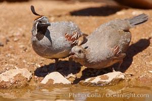 Gambel's quail, Callipepla gambelii, Amado, Arizona