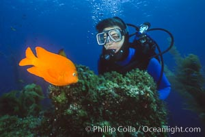 Diver and garibaldi, Catalina Island
