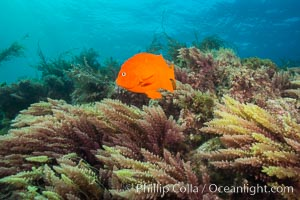 Garibaldi and Asparagopsis taxiformis (red marine algae), San Clemente Island. San Clemente Island, California, USA, Hypsypops rubicundus, Asparagopsis taxiformis, natural history stock photograph, photo id 30881