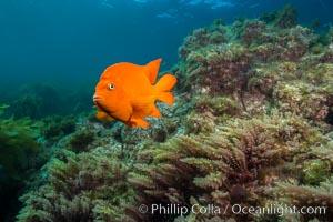 Garibaldi and Asparagopsis taxiformis (red marine algae), San Clemente Island. San Clemente Island, California, USA, Hypsypops rubicundus, Asparagopsis taxiformis, natural history stock photograph, photo id 30882