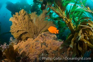 Garibaldi and golden gorgonian, with a underwater forest of giant kelp rising in the background, underwater, Catalina Island