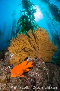 Garibaldi and golden gorgonian, with a underwater forest of giant kelp rising in the background, underwater, Catalina Island, California