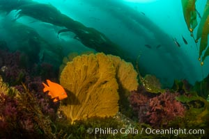 Garibaldi and golden gorgonian, with a underwater forest of giant kelp rising in the background, underwater, Muricea californica, San Clemente Island