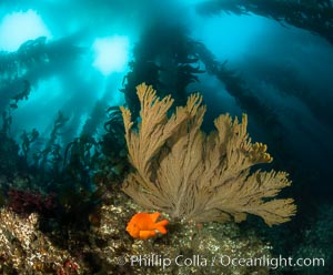 Garibaldi and golden gorgonian, with a underwater forest of giant kelp rising in the background, underwater, Hypsypops rubicundus, Muricea californica, San Clemente Island