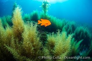 Image 34221, Garibaldi and invasive Sargassum. Catalina Island, California, USA, Phillip Colla, all rights reserved worldwide. Keywords: algae, california, catalina, catalina island, garibaldi, hypsypops rubicundus, invasive sargassum, island, marine, marine algae, nature, ocean, pacific, pacific ocean, sargassum, sargassum horneri, underwater, usa.