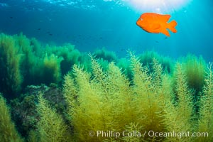 Garibaldi and invasive Sargassum, Catalina Island, California
