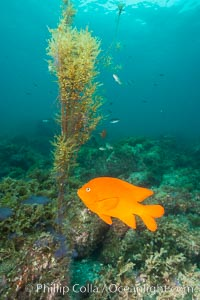 Garibaldi and invasive Sargassum, Catalina. Catalina Island, California, USA, Sargassum horneri, Hypsypops rubicundus, natural history stock photograph, photo id 30968