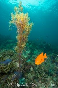 Garibaldi and invasive Sargassum, Catalina. Catalina Island, California, USA, Sargassum horneri, Hypsypops rubicundus, natural history stock photograph, photo id 30970