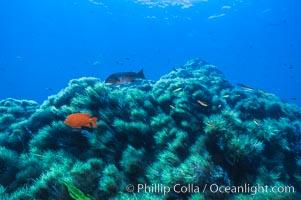 Garibaldi and kelp, Guadalupe Island, Mexico, Guadalupe Island (Isla Guadalupe)