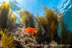 Garibaldi and Marine Algae, Coronado Islands, Mexico, Coronado Islands (Islas Coronado)