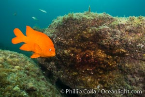 Garibaldi maintains a patch of algae (just in front of the fish) to entice a female to lay a clutch of eggs, Hypsypops rubicundus, Catalina Island