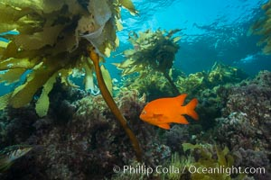 Garibaldi swimming through southern sea palm, San Clemente Island. San Clemente Island, California, USA, Hypsypops rubicundus, Eisenia arborea, natural history stock photograph, photo id 30916