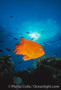 Garibaldi. San Clemente Island, California, USA, Hypsypops rubicundus, natural history stock photograph, photo id 00635