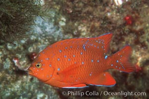 Juvenile garibaldi, vibrant spots distinguish it from pure orange adult form, Hypsypops rubicundus, San Clemente Island