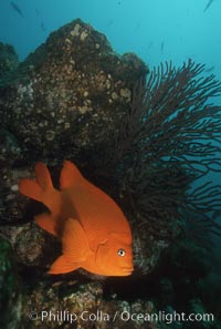 Garibaldi and gorgonian. Catalina Island, California, USA, Hypsypops rubicundus, natural history stock photograph, photo id 01029