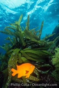 Garibaldi and palm kelp, Hypsypops rubicundus, Catalina Island