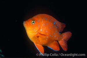 Juvenile garibaldi. California, USA, Hypsypops rubicundus, natural history stock photograph, photo id 01072