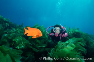 A SCUBA diver swimming over a rocky reef covered with kelp, watches a brightly colored orange garibaldi fish, Hypsypops rubicundus, San Clemente Island