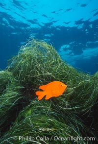Garibaldi in eel grass, Catalina. Catalina Island, California, USA, Hypsypops rubicundus, natural history stock photograph, photo id 01128