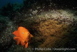 Garibaldi and egg cluster. Catalina Island, California, USA, Hypsypops rubicundus, natural history stock photograph, photo id 01929