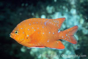 Garibaldi juvenile, vibrant spots distinguish it from pure orange adult form, Coronado Islands, Hypsypops rubicundus, Coronado Islands (Islas Coronado)