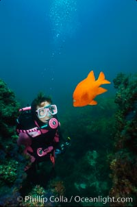 Diver and garibaldi, Catalina. Catalina Island, California, USA, Hypsypops rubicundus, natural history stock photograph, photo id 01969