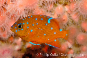 Juvenile garibaldi displaying distinctive blue spots. California, USA, Hypsypops rubicundus, natural history stock photograph, photo id 09387