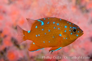 Image 09388, Juvenile garibaldi displaying distinctive blue spots. California, USA, Hypsypops rubicundus, Phillip Colla, all rights reserved worldwide.   Keywords: adult juvenile difference:animal:california:california baja california:color and pattern:creature:damselfish:fish:fish anatomy:garibaldi:hypsypops rubicundus:indo-pacific:marine:marine fish:nature:ocean:sea:spot:teleost fish:underwater:usa:wildlife.
