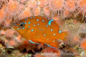 Juvenile garibaldi displaying distinctive blue spots. California, USA, Hypsypops rubicundus, natural history stock photograph, photo id 09389