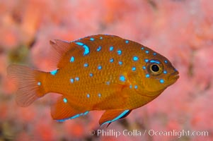 Juvenile garibaldi displaying distinctive blue spots. California, USA, Hypsypops rubicundus, natural history stock photograph, photo id 09396