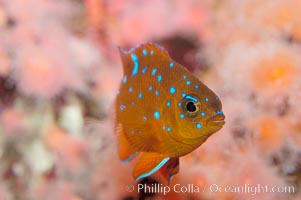 Juvenile garibaldi displaying distinctive blue spots. California, USA, Hypsypops rubicundus, natural history stock photograph, photo id 09401