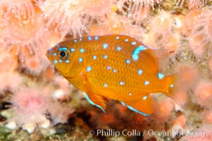 Juvenile garibaldi displaying distinctive blue spots. California, USA, Hypsypops rubicundus, natural history stock photograph, photo id 09402