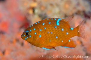 Juvenile garibaldi displaying distinctive blue spots. California, USA, Hypsypops rubicundus, natural history stock photograph, photo id 09403