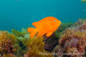 Garibaldi swims over a kelp covered reef, Hypsypops rubicundus, San Clemente Island