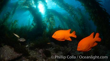 Garibaldi swims in the kelp forest, sunlight filters through towering giant kelp plants rising from the ocean bottom to the surface, underwater. Catalina Island, California, USA, Hypsypops rubicundus, natural history stock photograph, photo id 23419