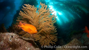 Garibaldi and golden gorgonian, with a underwater forest of giant kelp rising in the background, underwater, Muricea californica, Hypsypops rubicundus, Catalina Island