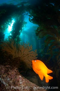 Garibaldi and golden gorgonian, with a underwater forest of giant kelp rising in the background, underwater. Catalina Island, California, USA, Hypsypops rubicundus, natural history stock photograph, photo id 23483