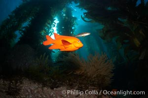 Garibaldi swims in the kelp forest, sunlight filters through towering giant kelp plants rising from the ocean bottom to the surface, underwater, Hypsypops rubicundus, Catalina Island