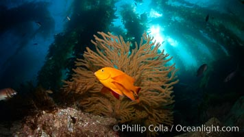Garibaldi and golden gorgonian, with a underwater forest of giant kelp rising in the background, underwater. Catalina Island, California, USA, Hypsypops rubicundus, natural history stock photograph, photo id 23596