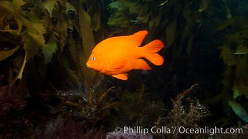 Garibaldi fish on kelp forest reef, underwater. San Clemente Island, California, USA, Hypsypops rubicundus, natural history stock photograph, photo id 25425
