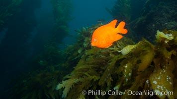 Garibaldi fish on kelp forest reef, underwater, Hypsypops rubicundus, San Clemente Island